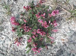 Astragalus monspessulanus L. {ID 1037} - Astragalo rosato - Forum ...