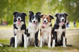most common border collie health issues