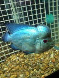 Aquarium Design For Flowerhorn Thai Silk Flowerhorn Fish Tank Fish Cichlids