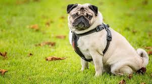 Best Harnesses For Pugs Ratings Reviews Top Picks