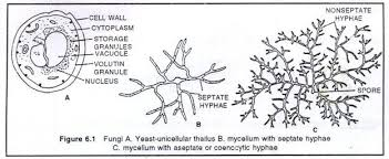 mycelial form 8 important characters of fungi with diagram