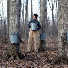 Maple Sap To Syrup Conversion Chart Maple Sap Collection And Syrup Production