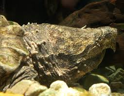 Alligator Snapping Turtle Turtles Pinterest Snapping