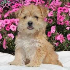 a morkie yorktese puppy named roxy