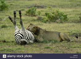 lioness hunting zebra.  Zebra African Lion Eating Dead Zebra Amboseli Kenya  Stock Image For Lioness Hunting Zebra N