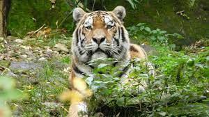 Steckbrief: Tiger - Wissen - SWR Kindernetz