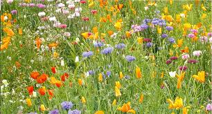 wild flower seeds 5 gms touch of summer