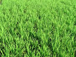 tall green grass field. Free Images : Nature, Growth, Lawn, Meadow, Prairie, Texture, Foliage, Green, Farming, Crop, Scenic, Natural, Scenery, Soil, Agriculture, Flora, Rice, Tall Green Grass Field