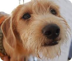 wire haired terrier mix. Delighful Wire Adopted In Wire Haired Terrier Mix