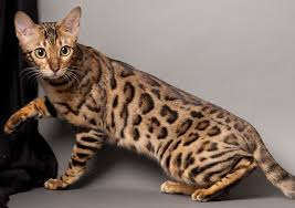 Likeable Likeable Bengal Cat  Purrfect Cat Breeds As Do Bengal Cats Like  And Also Bengal Cats With Water