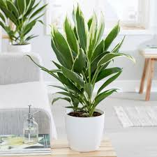 Design A Line Cordyline Buy Good Luck Plant Cordyline Fruticosa Conga Delivery By