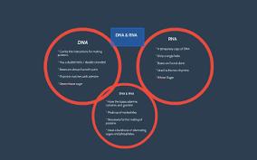 Venn Diagram Comparing Dna And Rna Dna Rna Venn Diagram