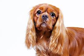 cavaliers dogs. Simple Cavaliers Rubycoated Cavalier King Charles Spaniel Head Facing Forward And Cavaliers Dogs