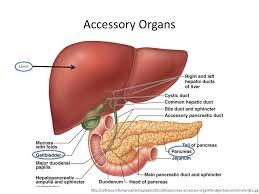 Accessory Organs Of The Digestive System Delectable Gastrointestinal Anatomy Ppt Video Online Download
