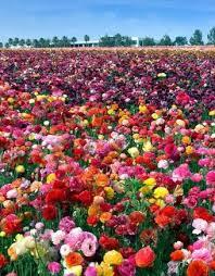 carlsbad flower fields 2018 share