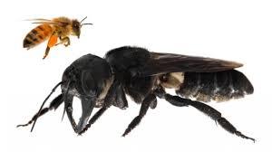 Download lagu mp3 terbaik 2019, gudang lagu mp3 terbaru gratis. Cerita Lebah Terbesar Dunia Muncul Di Indonesia Usai Hilang 38 Tahun