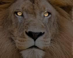lion wallpaper 4k 284274