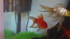 Fantail Goldfish Growth Chart Fancy Fantail Goldfish Growth 2 Years Old