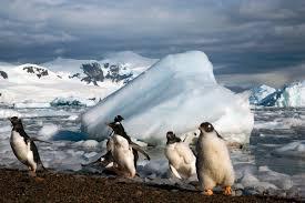 emperor penguin habitat. Beautiful Habitat Gentoo Penguin Habitat And Emperor E