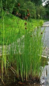 Typha minima - Wikipedia