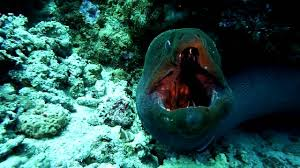 Zebra moray eel (gymnomuraena zebra). 10 Fascinating Facts About Morays Mental Floss