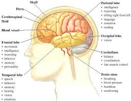 Human Brain Functions And Parts Human Brain Facts