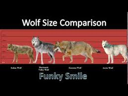 Wolf Vs Dog Size Chart Size Comparison Of Wolf Species Funky Smile Youtube