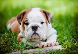 really cute english bulldog puppies. Interesting Really Intended Really Cute English Bulldog Puppies N
