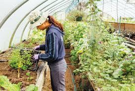 intern wendy vu transplanting seedlings into soil beds in a greenhouse at amessett farm