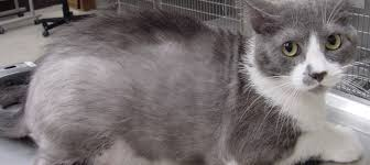 is your cat losing hair what it could