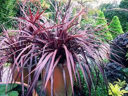 Cordyline Design A Line Burgundy Cordyline Australis Burgundy Spire Garden Design