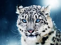 white tiger with blue eyes in snow. Delighful Snow Pics Of White Tigers With Blue Eyes  Download Texture Tiger  Eyes Photo Wallpapers  And White Tiger With Blue Eyes In Snow H
