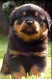 baby rottweiler.  Rottweiler Baby Rottweiler Bubblegum Inside Rottweiler