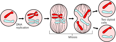 images mitosis diagram out labels source thegreatestgarden com