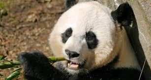 Pandas Enjoy The Sweet Life Science News