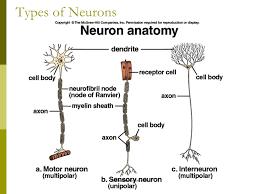 The Neuron Presentation Biology Sliderbase