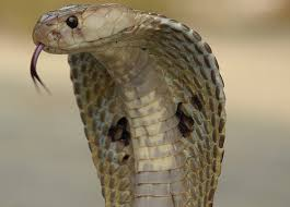 Image result for images of venomous snakes