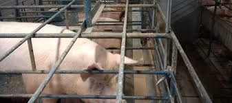Precision Production Feed Efficiency in Pig Farming Equipment