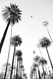palm trees tumblr vertical. PALM TREES LOS ANGELES CALIFORNIA BLACK AND WHITE Palm Trees Tumblr Vertical