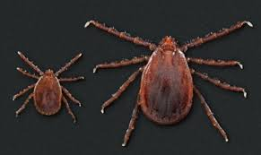 Cdc Tick Identification Chart Cdc Warns Exotic Tick That Can Cause Massive Infestations