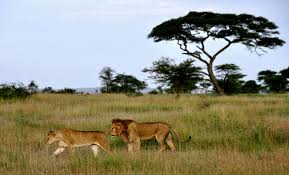 Image result for serengeti national park