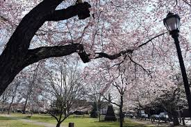 Cherry blossoms in full bloom in New Haven - New Haven Register