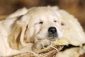golden retriever puppy sleeping. Fine Sleeping KimballStock_PUP 08 SS0013 01_preview To Golden Retriever Puppy Sleeping D