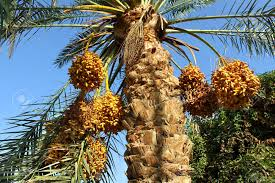 Date Palm Tree With Clusters Of Fruits Stock Photo  ThinkstockPalm Tree Orange Fruit