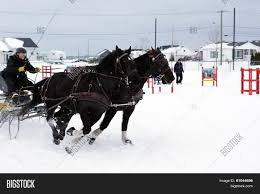 Canadian Light Horse Horses Obstacle Cone Image Photo Free Trial Bigstock