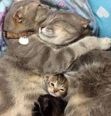 un chat adulte peut il tuer un chaton