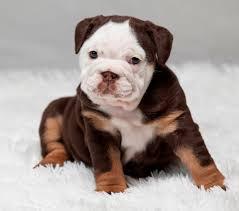 puppy chocolate tri