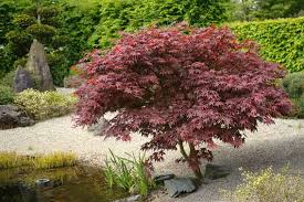 Japanese Maple Growth Chart Acer Palmatum Bloodgood Japanese Maple