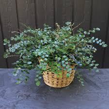 Button fern -