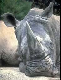 Носорог носороги rhinocerotidae слух зрение черные носороги  Носороги из Горонгозы